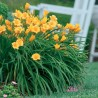 Photo: Fragrant Returns Daylily