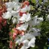 Photo: Larkspur Guardian White