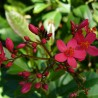 Photo: Spicy Jatropha