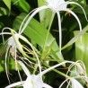 Photo: Beach Spider Lily