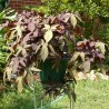 Photo: Blackie Sweet Potato Vine