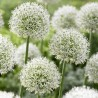 Photo: Allium 'White Giant'