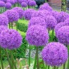 Photo: Allium 'Globemarster'